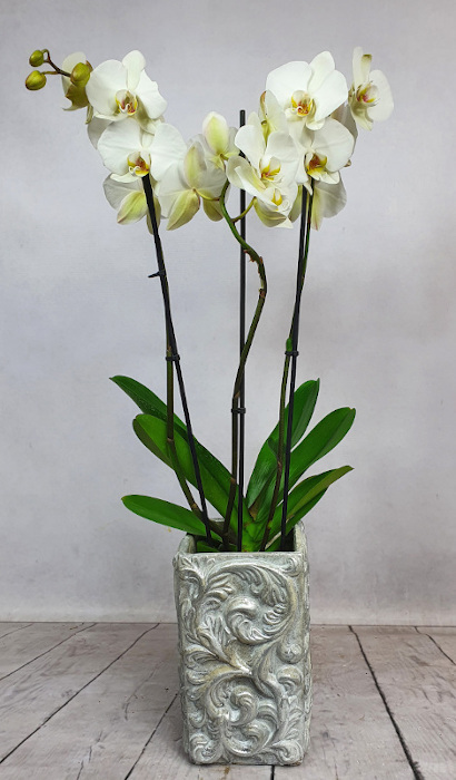 Phalenopsis (Storczyk doniczkowy) + osłonka ceramiczna 3 (1)