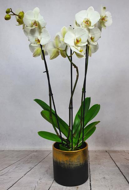 Phalenopsis (Storczyk doniczkowy) + osłonka ceramiczna 2 (1)