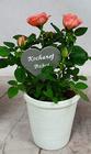 Róża mini w doniczce + pik Kochanej BABCI (2)