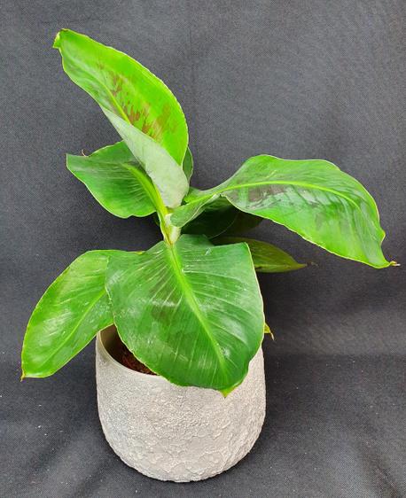 Bananowiec w osłonce ceramicznej (1)