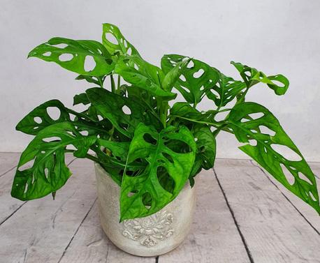 Monstera Monkey Leaf (miękkolistna) + osłonka ceramiczna (1)